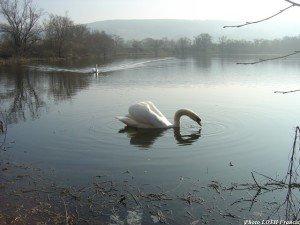 Cignes sur un étang des prés de Moselle - Pagny-sur-Moselle (54)