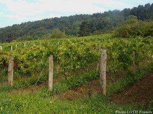 Côte de Pagny - Vignes