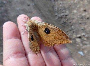 Aglia tau ailes ouvertes - Pagny-sur-Moselle (54)