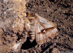 Aglia tau (f) ailes fermées - Pagny-sur-Moselle (54)