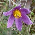 <b>Anemone pulsatilla - Arnaville (54)</b> <br />