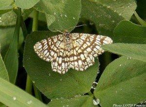 Chiasmia clathrata ailes ouvertes - Pagny-sur-Moselle (54)