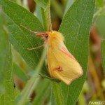 <b>Diacrisia sannio ailes fermées - Pagny-sur-Moselle (54)</b> <br />