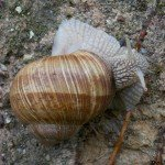 <b>Helix pomatia - Pagny-sur-Moselle (54)</b> <br />