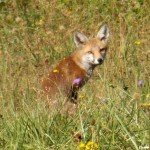 <b>Vulpes vulpes juvénile - Pagny-sur-Moselle (54) 03</b> <br />