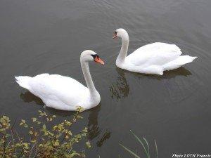 Cygne pédonculé - Pagny-sur-Moselle (54) 02